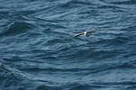 Northern Fulmar (Fulmarus glacialis)